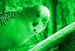 Exotic budgies and love birds